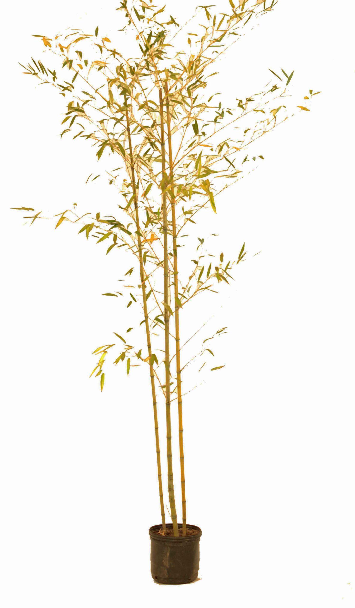 Caña de bambú en envase de 10 litros
