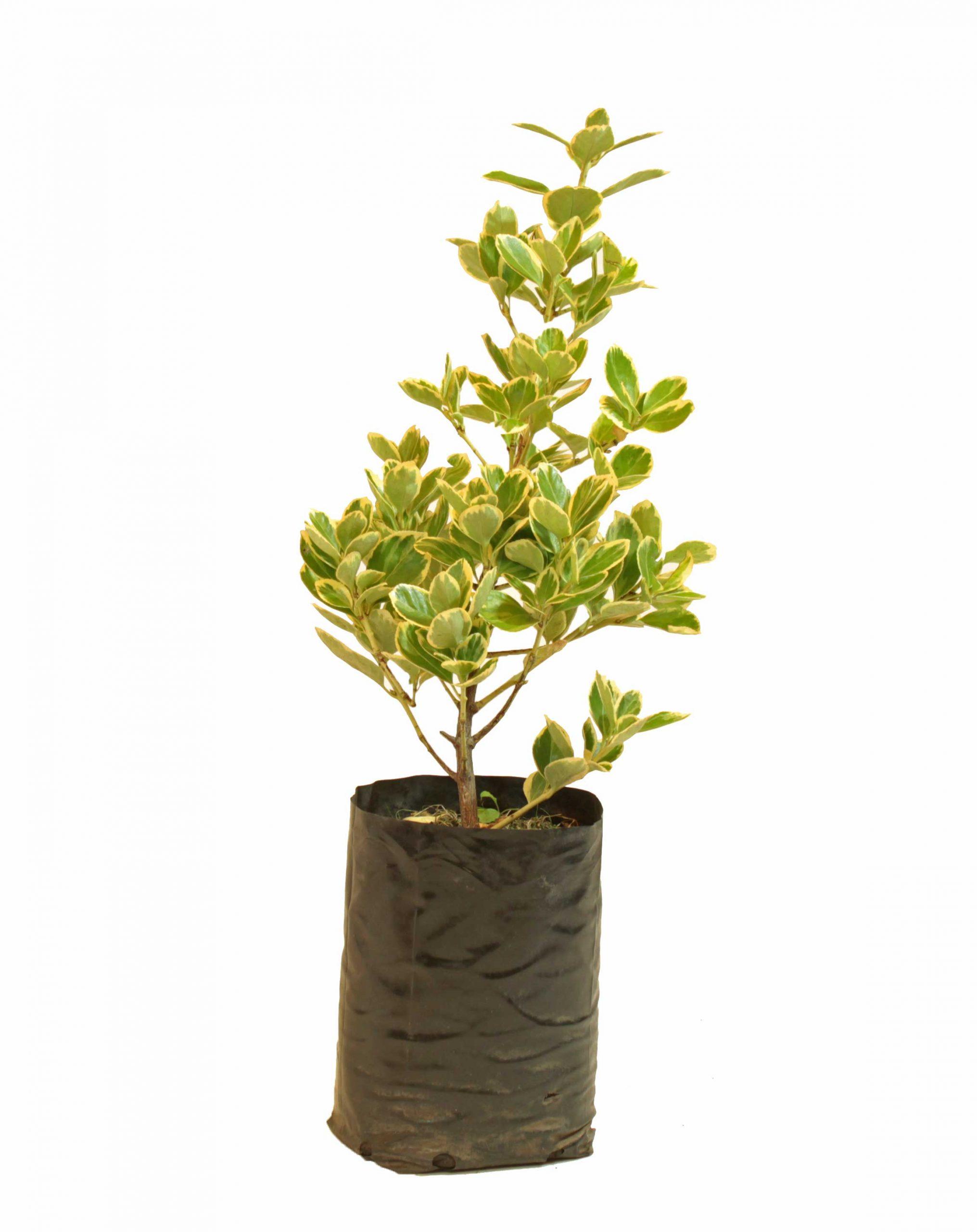 Evonimus maculata en envase de 4 litros