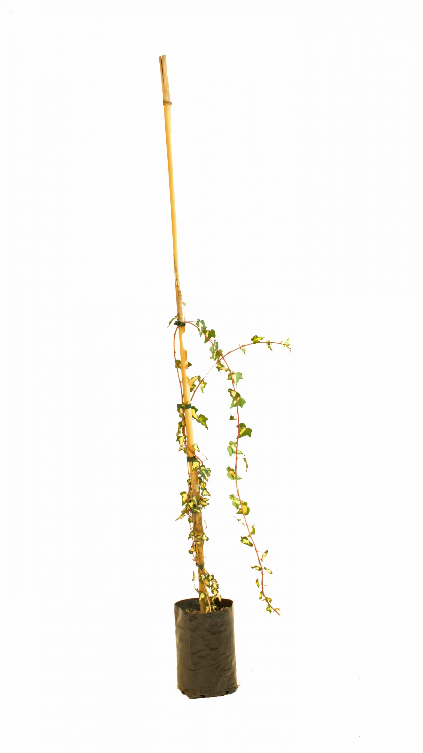 Hiedra golden kolibrí en envase de 4 litros