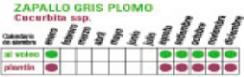 C ZAPALLO PLOMO - Plantas Faitful