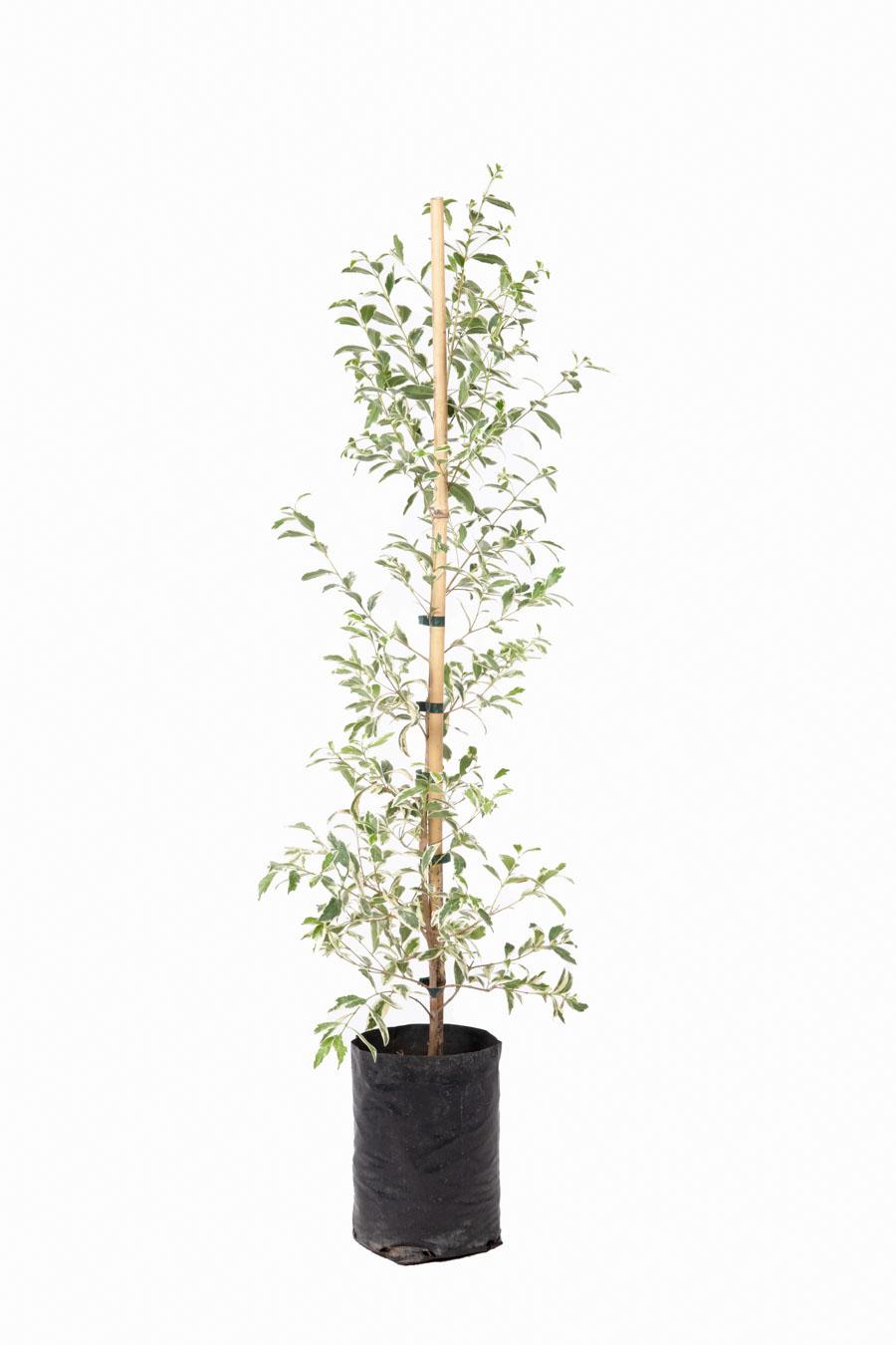 Eugenia variegada en envase de 4 litros
