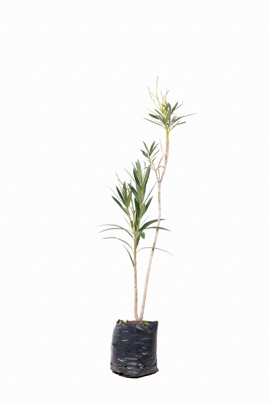 Nerium oleander en envase de 3 litros