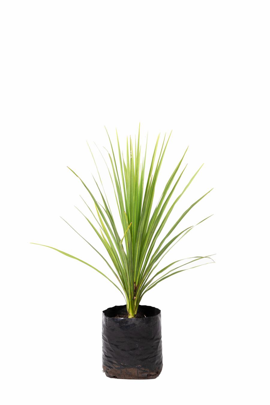 Dracaena indivisa verde en envase de 10 litros