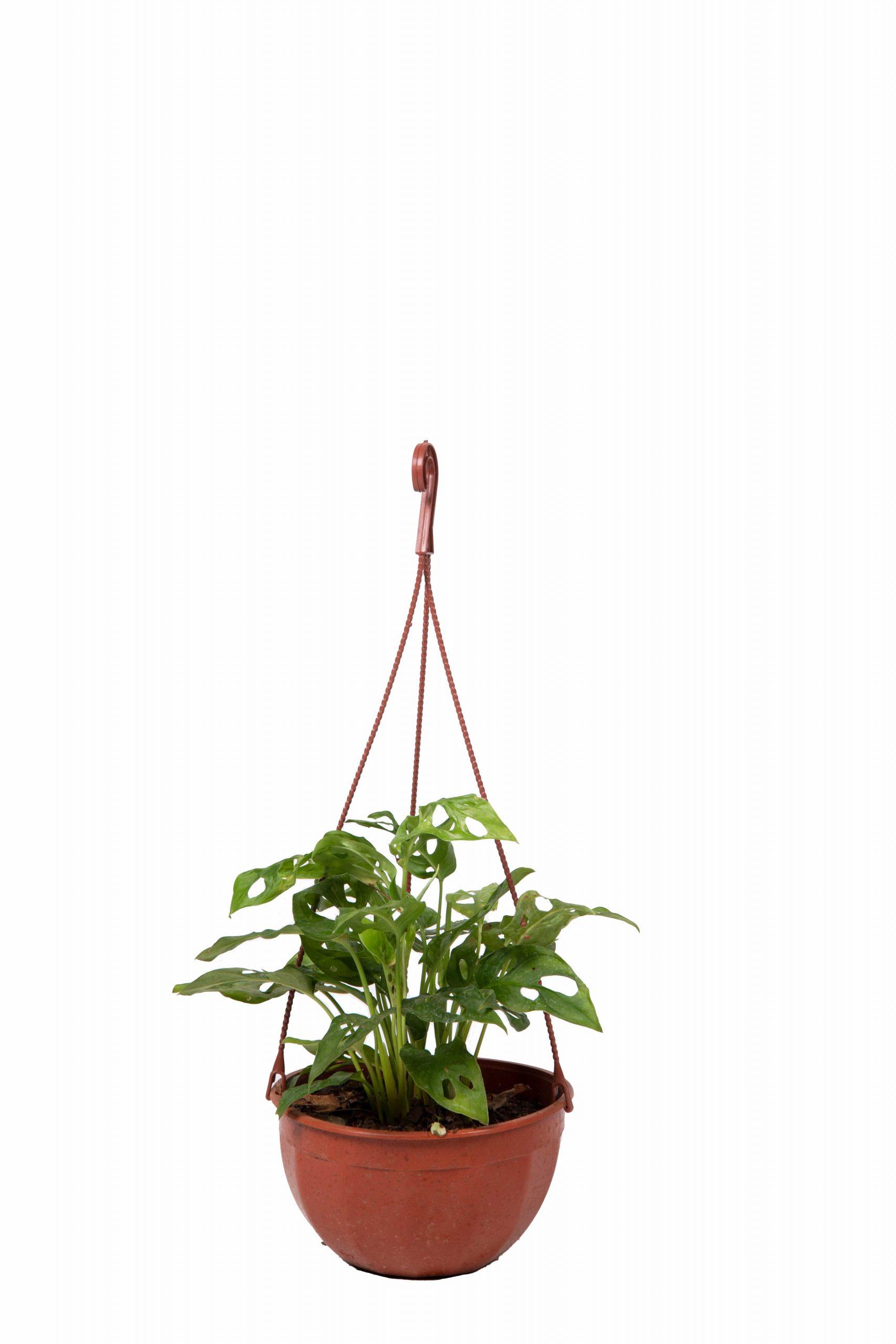 Monstera Adansonii bols 18 cm (Philodendron peruviano)