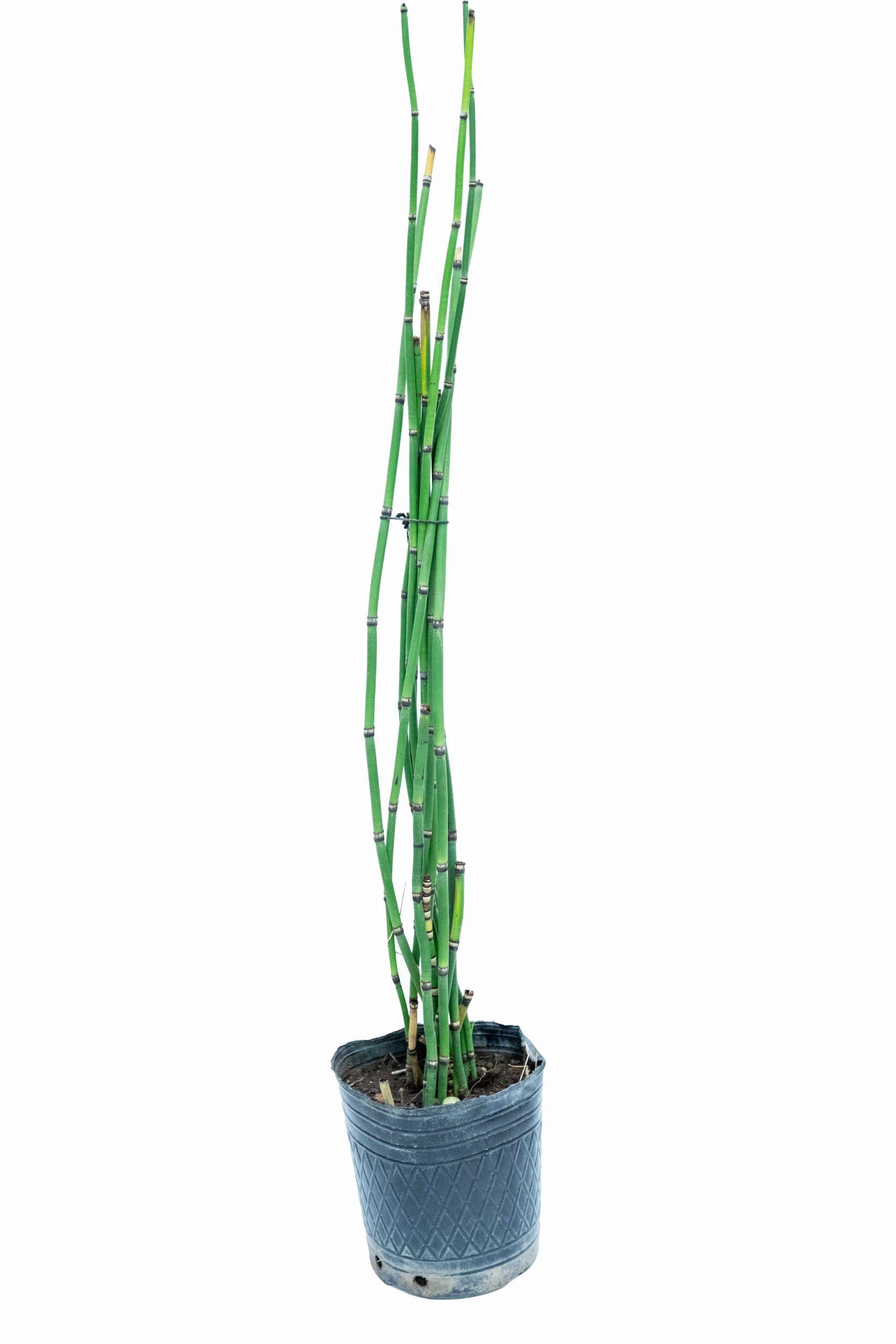 Equisetum en envase de 3 litros