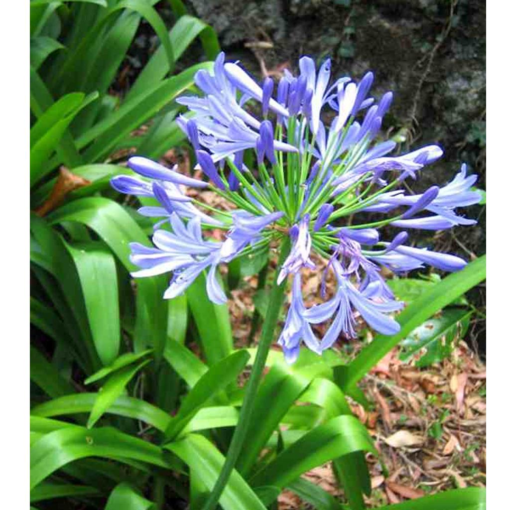Plantas Faitful Plantas Exterior Agapanthus E3 1 - Plantas Faitful