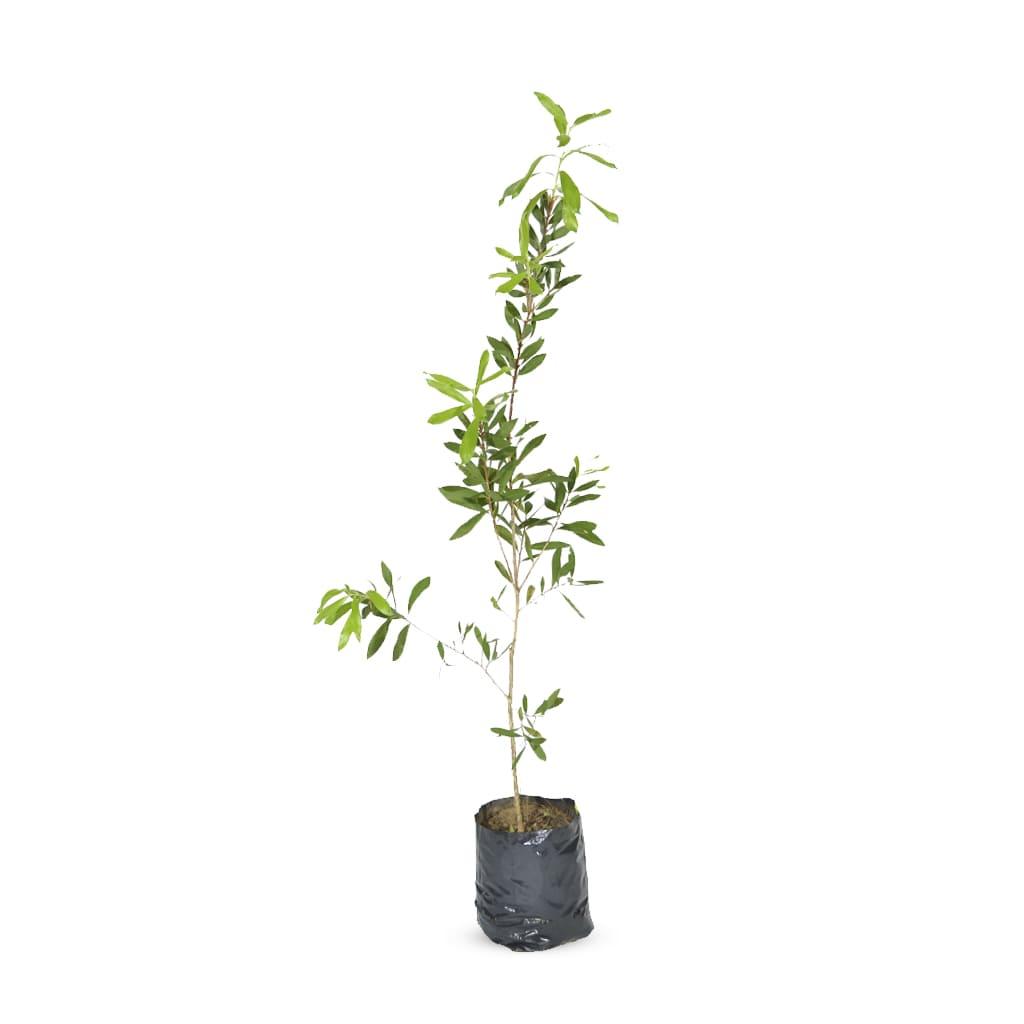 Plantas Faitful Plantas Exterior Callistemon Rigidus E3 2 1 - Plantas Faitful