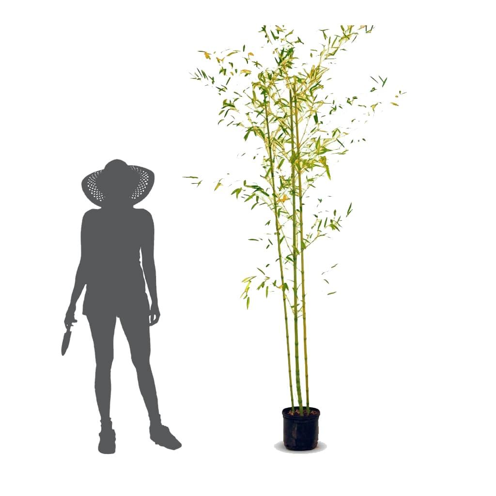 Plantas Faitful Plantas Exterior Cana Bambu E10 1 - Plantas Faitful