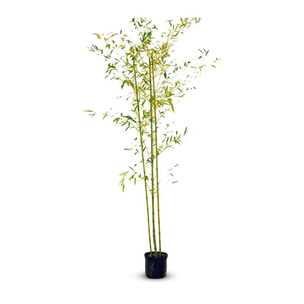 Plantas Faitful Plantas Exterior Cana Bambu E10 - Plantas Faitful
