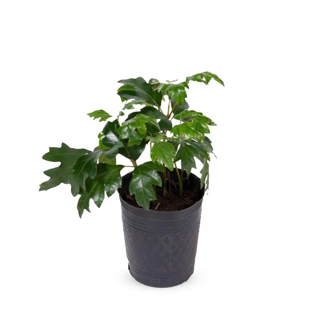 Plantas Faitful Plantas Exterior Cissus M12 1 1 - Plantas Faitful