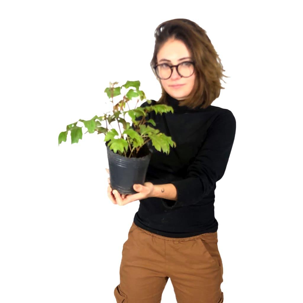 Plantas Faitful Plantas Exterior Cissus M12 1 - Plantas Faitful