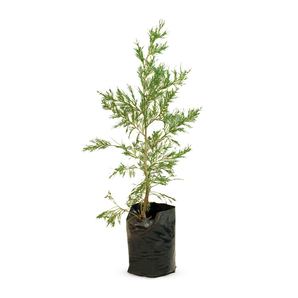 Plantas Faitful Plantas Exterior Cupressus Leylandii E4 2 - Plantas Faitful