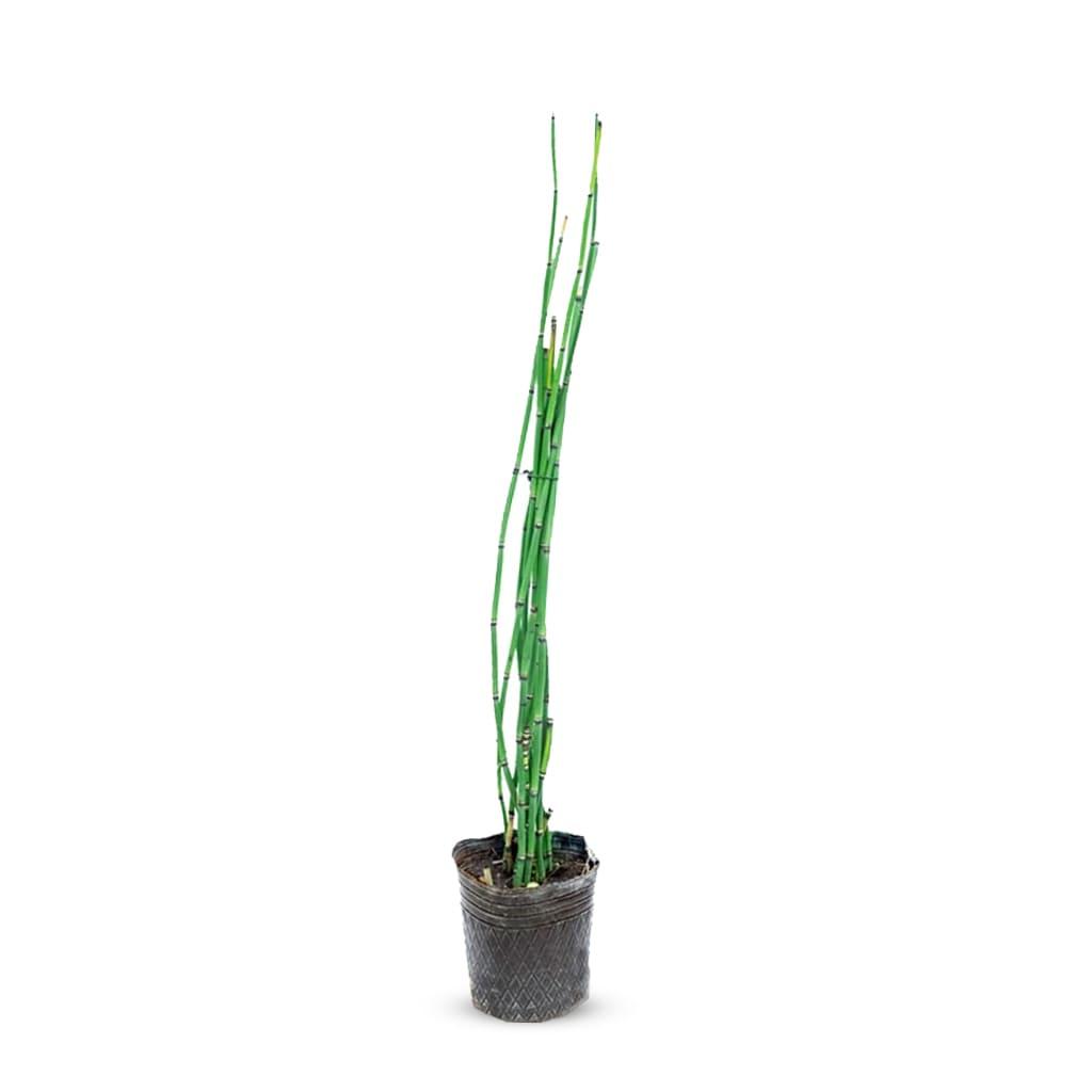 Plantas Faitful Plantas Exterior Equisetum E3 - Plantas Faitful