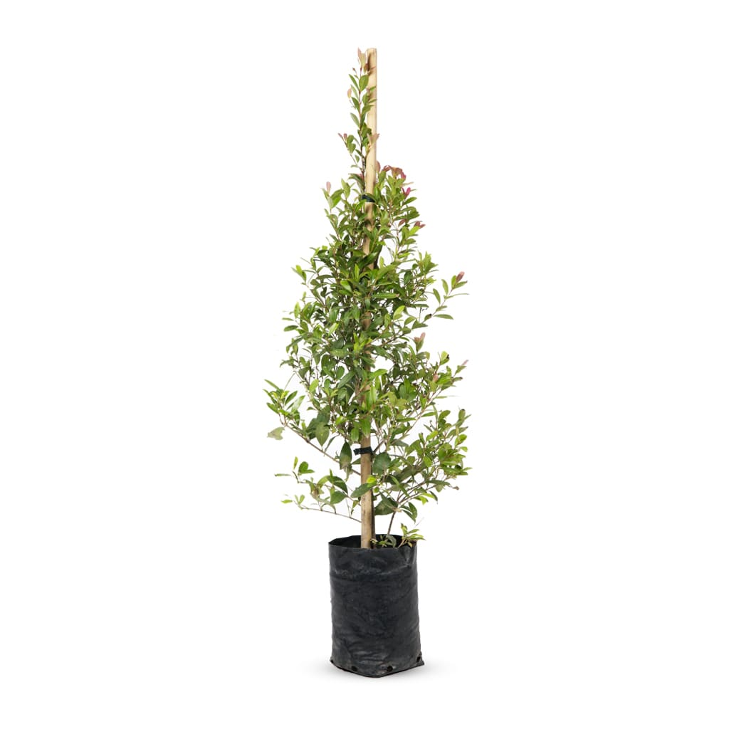 Plantas Faitful Plantas Exterior Eugenia E10 2 - Plantas Faitful