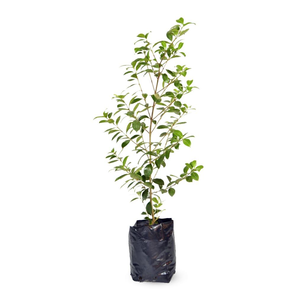 Plantas Faitful Plantas Exterior Eugenia E3 - Plantas Faitful