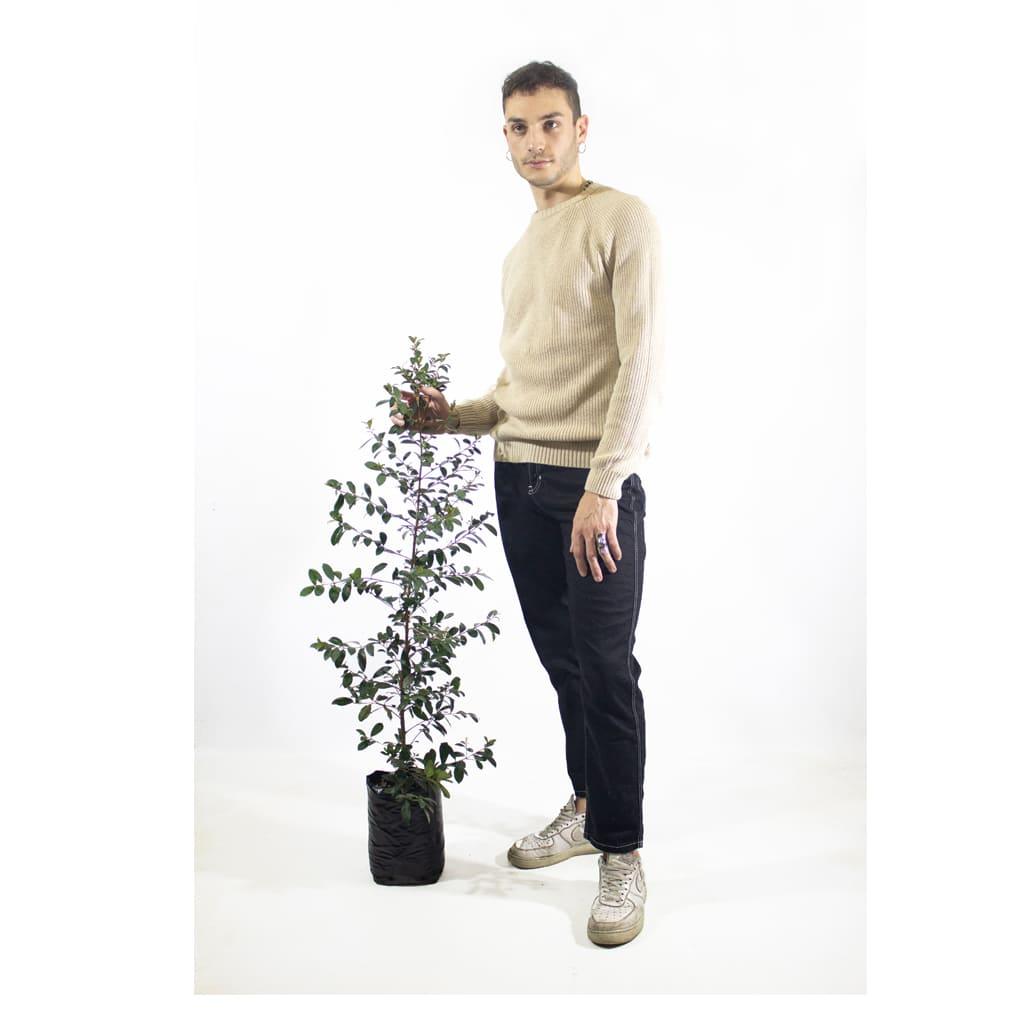 Plantas Faitful Plantas Exterior Eugenia E4 Dimension 2 1 - Plantas Faitful