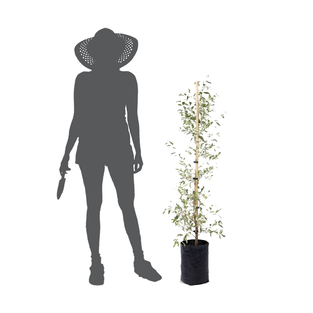 Plantas Faitful Plantas Exterior Eugenia Variegada E10 - Plantas Faitful