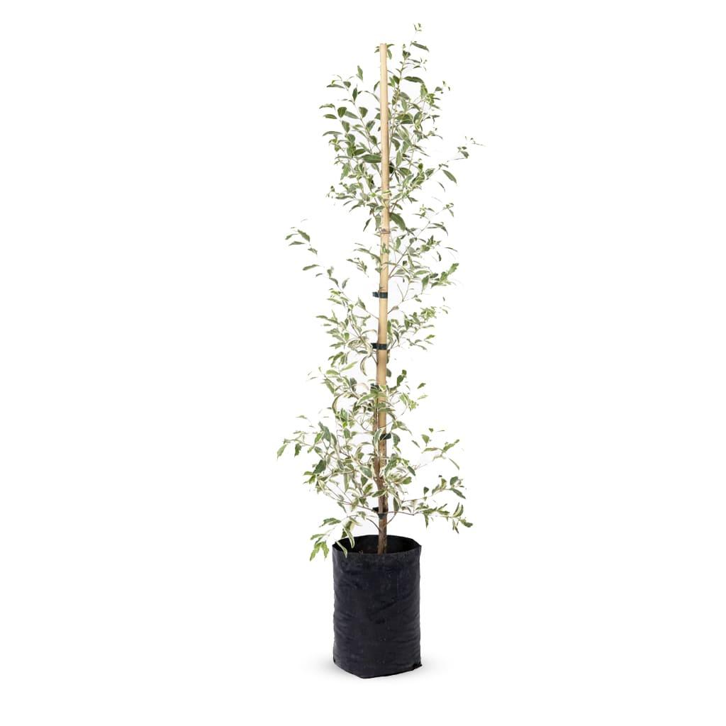 Plantas Faitful Plantas Exterior Eugenia Variegada E4 3 - Plantas Faitful