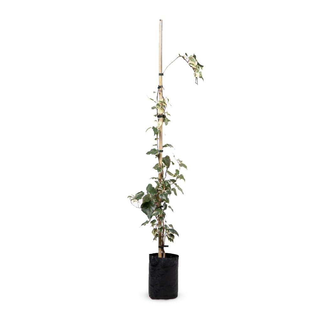 Plantas Faitful Plantas Exterior Hiedra Gloria de Marengo E4 - Plantas Faitful