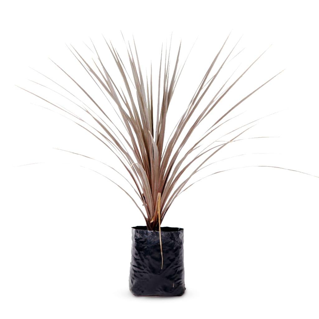 Plantas Faitful Plantas Exterior Indivisa Rubra E10 - Plantas Faitful