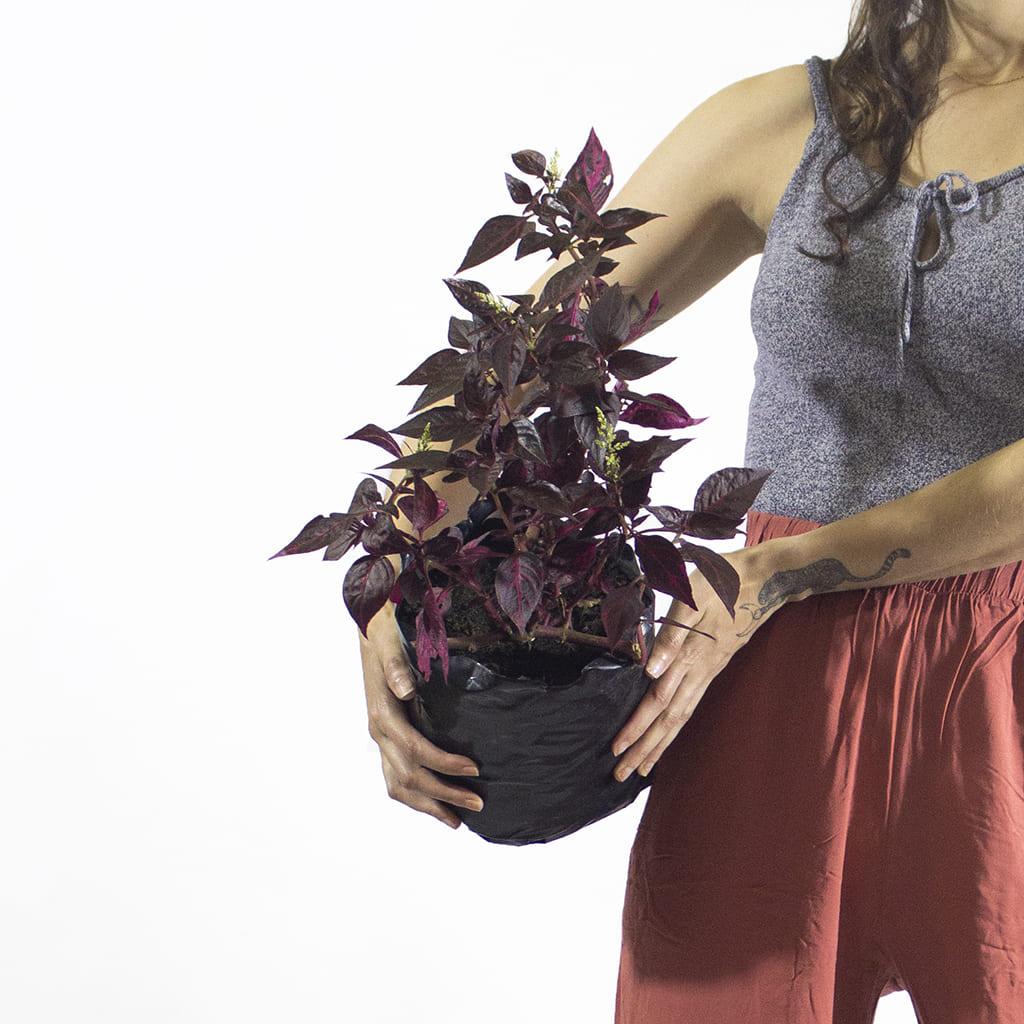 Plantas Faitful Plantas Exterior Iresine Indica 1 2 - Plantas Faitful