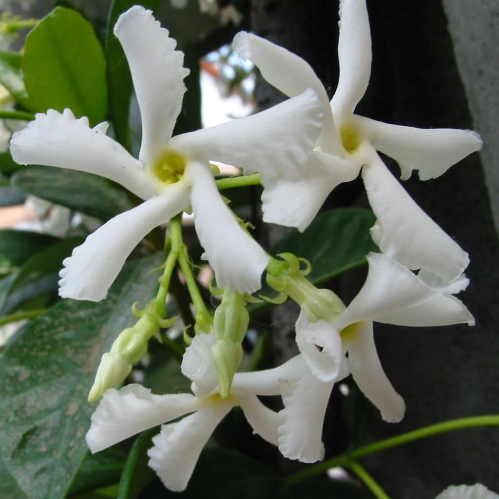 Plantas Faitful Plantas Exterior Jazmin de Leche E3 1 - Plantas Faitful
