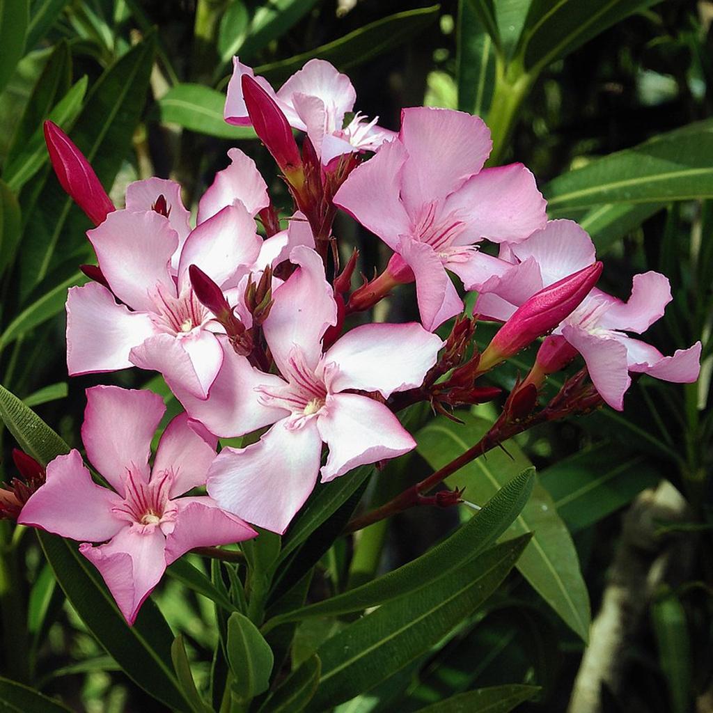 Plantas Faitful Plantas Exterior Nerium E4 1 - Plantas Faitful