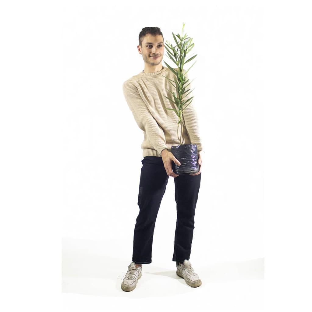 Plantas Faitful Plantas Exterior Nerium E4 Dimension - Plantas Faitful