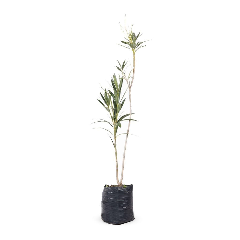 Plantas Faitful Plantas Exterior Nerium Laurel E4 - Plantas Faitful