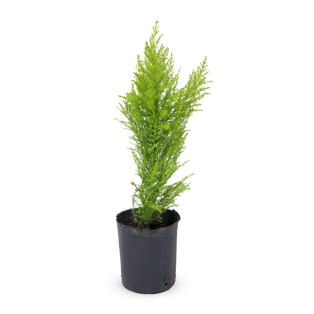 Plantas Faitful Plantas Exterior Pino Limon E3 1 2 - Plantas Faitful