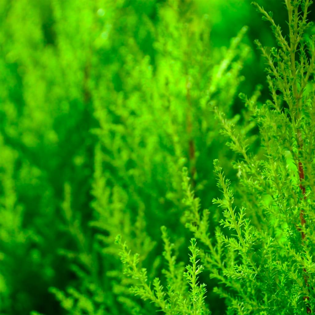 Plantas Faitful Plantas Exterior Pino Limon E3 1 - Plantas Faitful