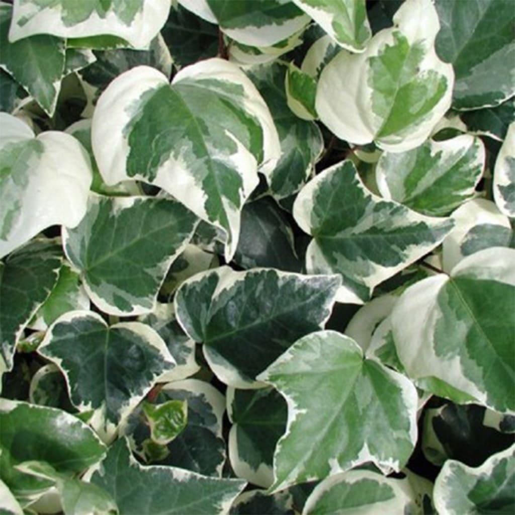 Plantas Faitful Plantas Exterior hiedra gloria de marengo - Plantas Faitful