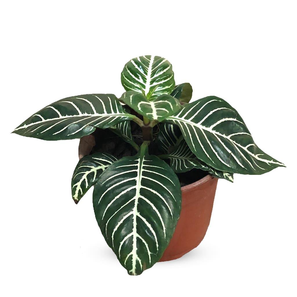 Plantas Faitful Plantas Interior Aphelandra M13 1 - Plantas Faitful