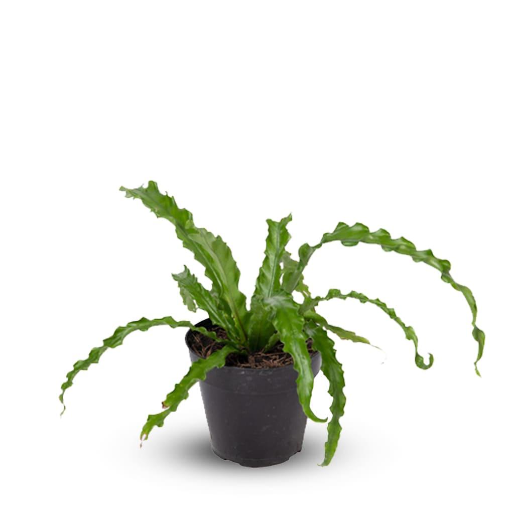 Plantas Faitful Plantas Interior Asplenium M12 1 - Plantas Faitful