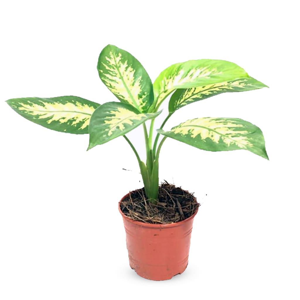 Plantas Faitful Plantas Interior Dieffenbachia Tropic M13 - Plantas Faitful