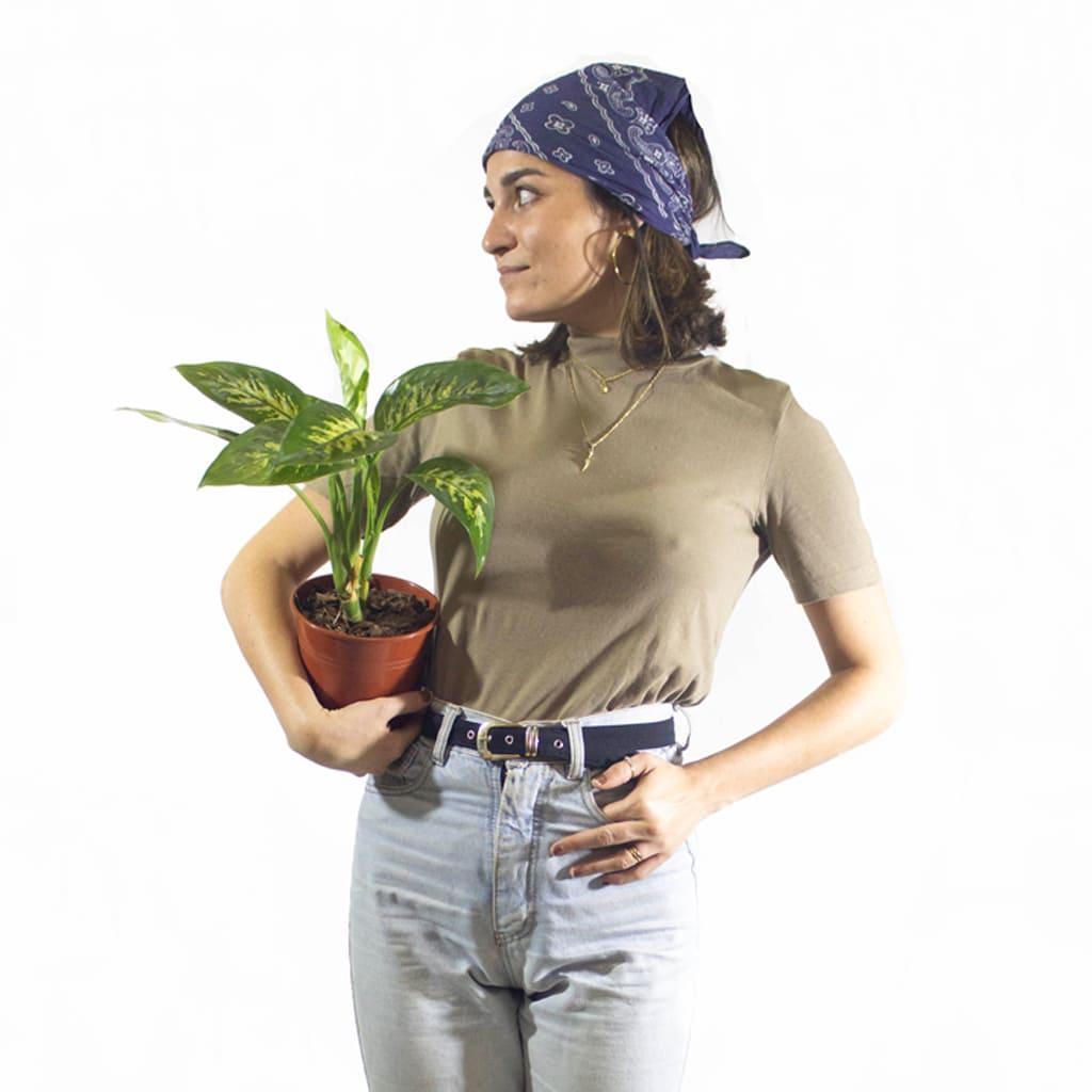 Plantas Faitful Plantas Interior Dieffenbachia Tropic M15 Dimension 1 - Plantas Faitful