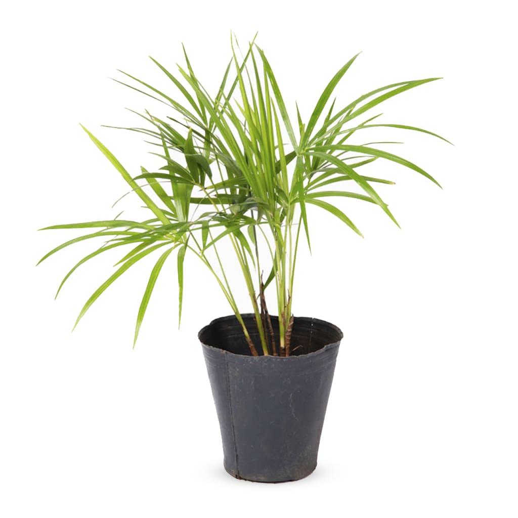 Plantas Faitful Plantas Interior Palmito M12 1 1 - Plantas Faitful