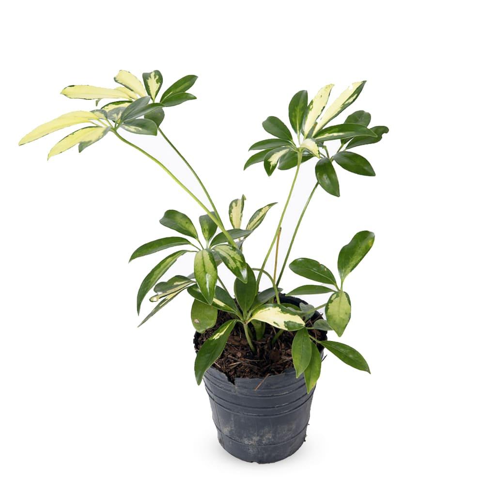 Plantas Faitful Plantas Interior Schefflera E3 1 1 - Plantas Faitful