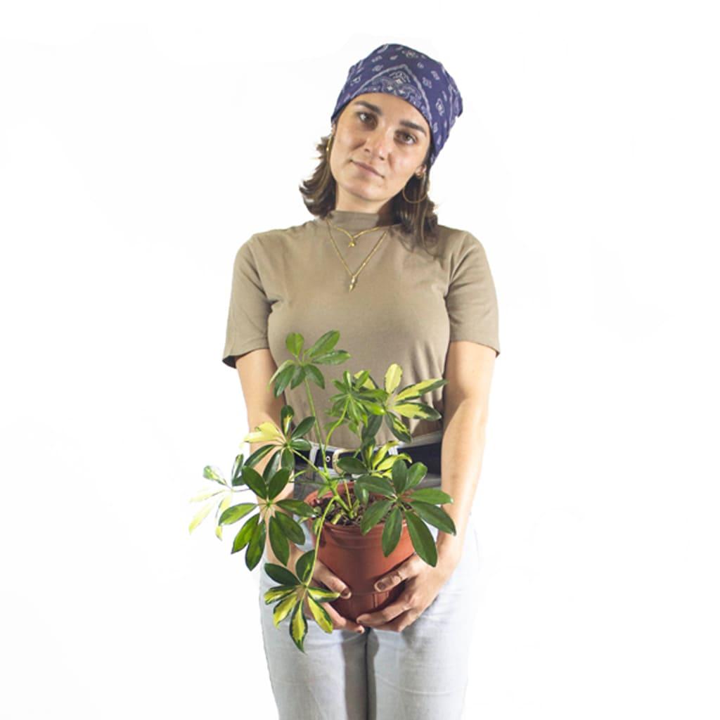 Plantas Faitful Plantas Interior Schefflera E3 Dimension 3 - Plantas Faitful