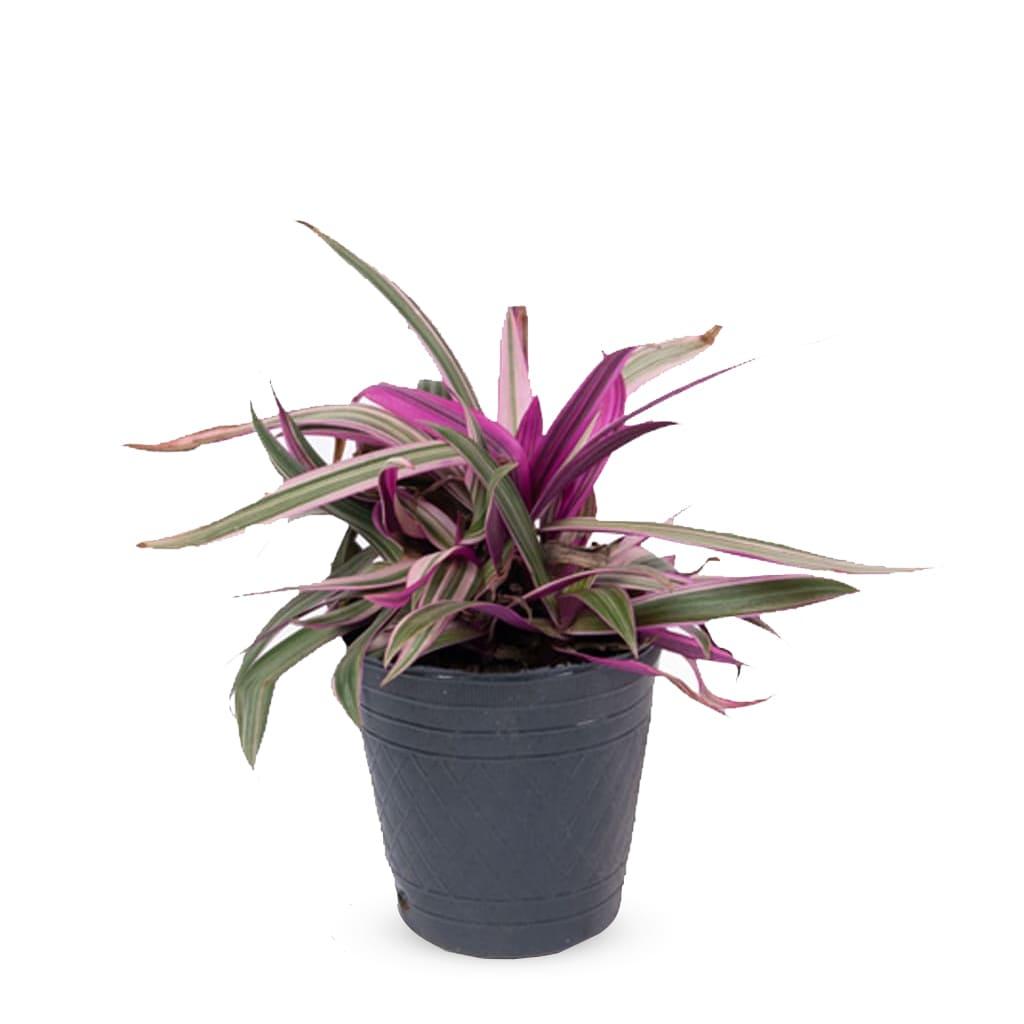 Plantas Faitful Plantas Interior Tradescantia Morada M12 - Plantas Faitful