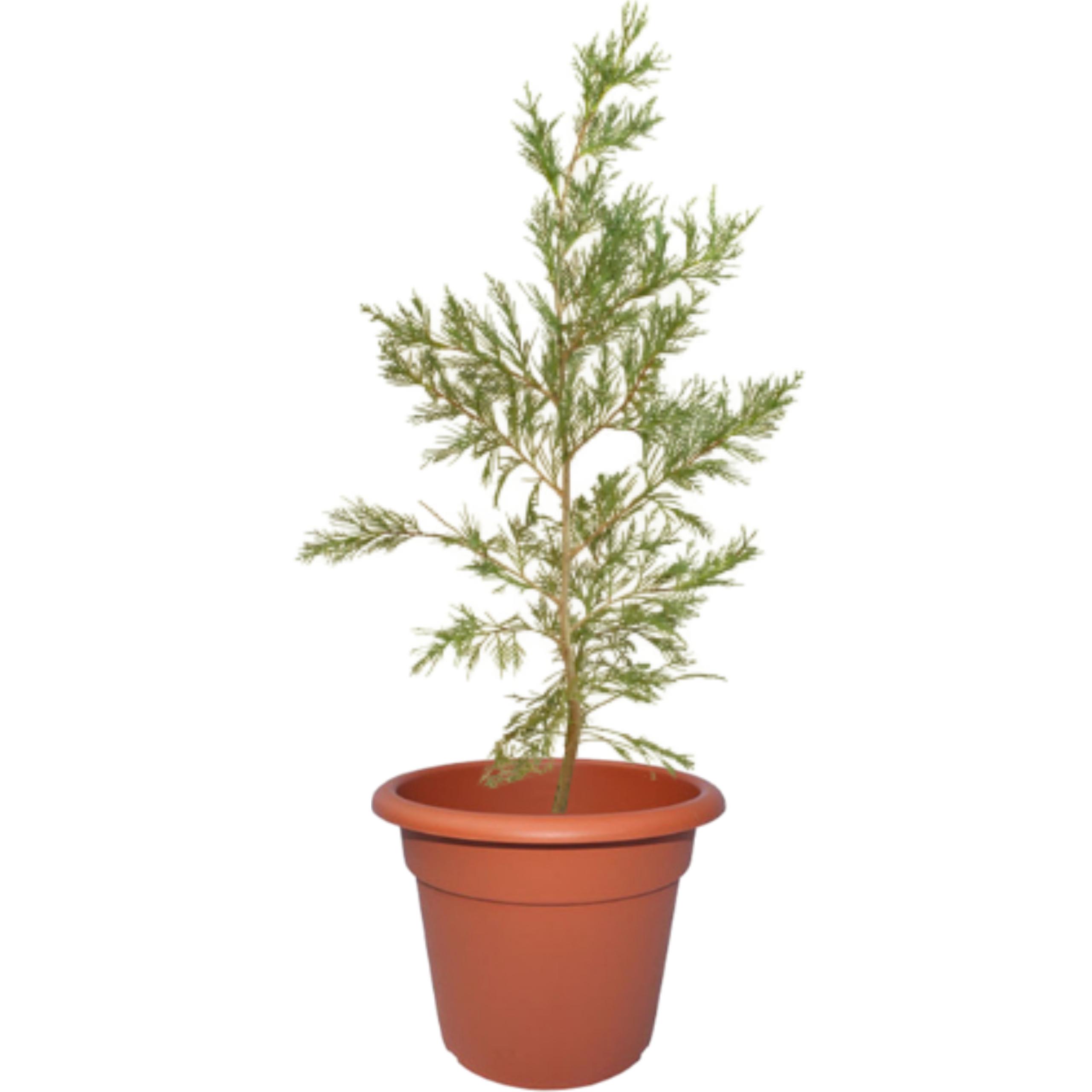Cupressus leylandii en envase de 4 litros