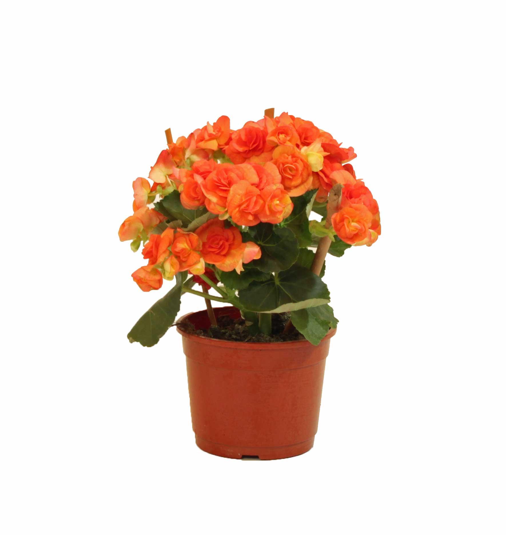 Begonia elatior en maceta de 13 cm