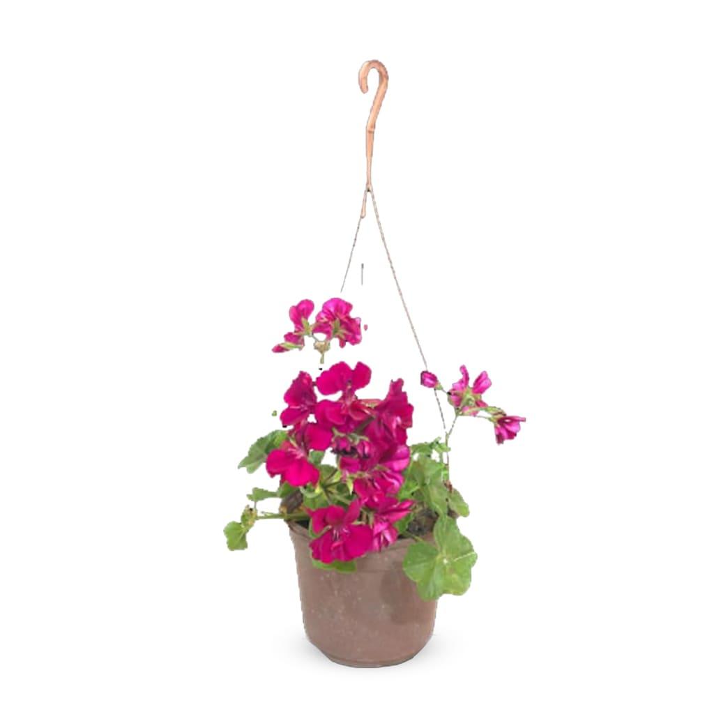 Plantas Faitful Plantas Exterior Geranio Colgante M15 - Plantas Faitful