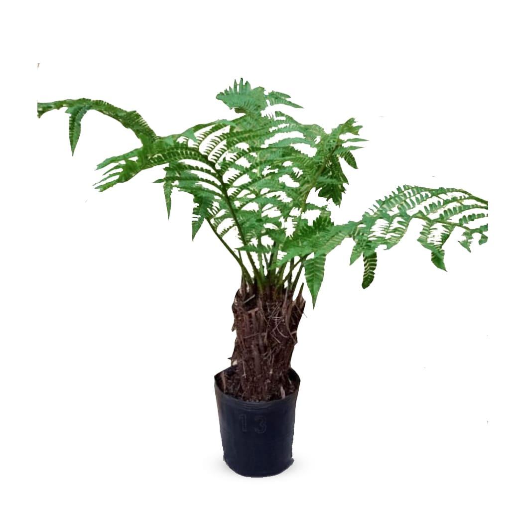 Plantas Faitful Plantas Exterior Helecho Arborescente E13 1 - Plantas Faitful
