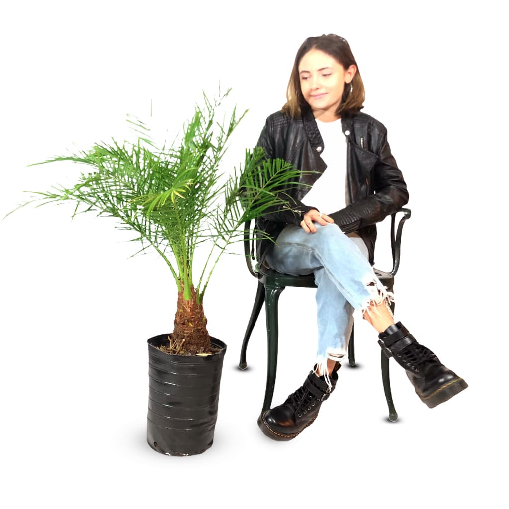 Plantas Faitful Plantas Exterior Phoenix Roebellini E7 Dimension 1 2 - Plantas Faitful
