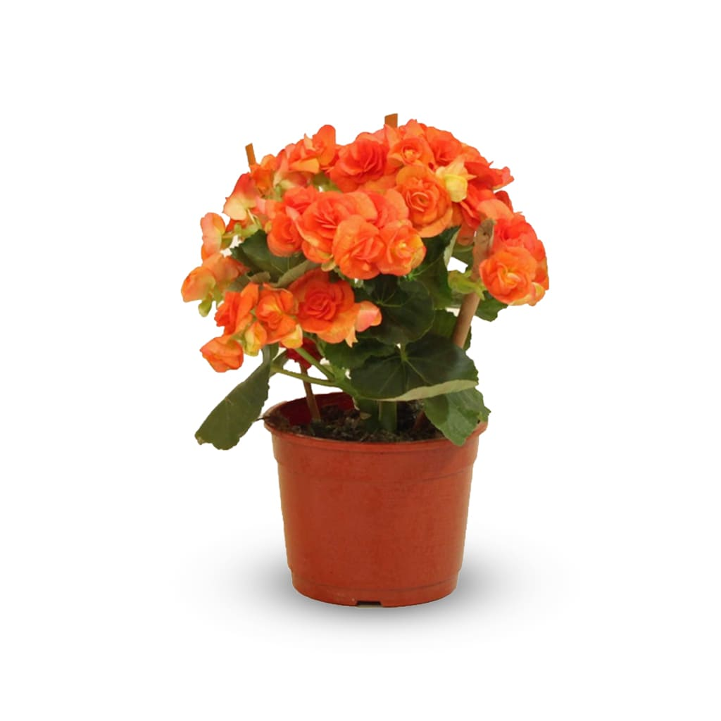 Plantas Faitful Plantas Interior Begonia Elatior M14 1 - Plantas Faitful