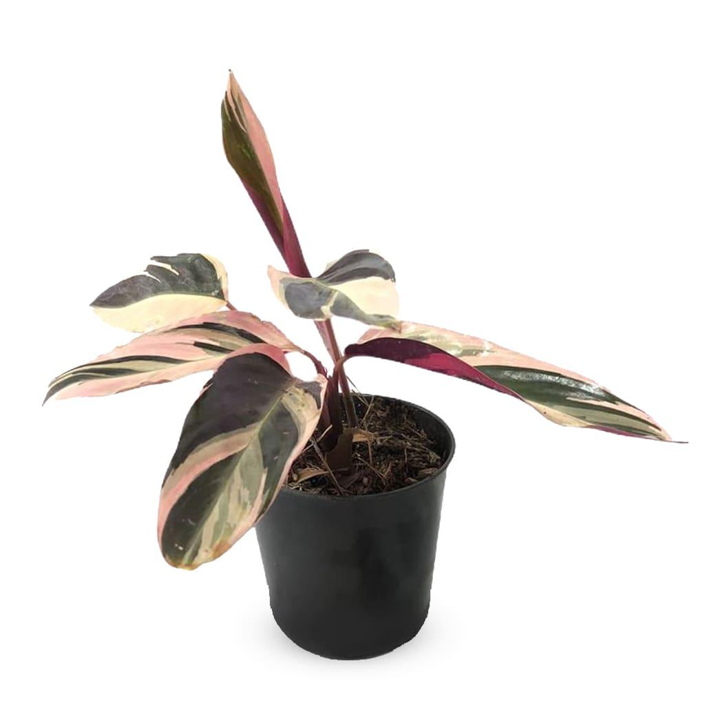 Plantas Faitful Plantas Interior Calathea Stromanthe M12 - Plantas Faitful