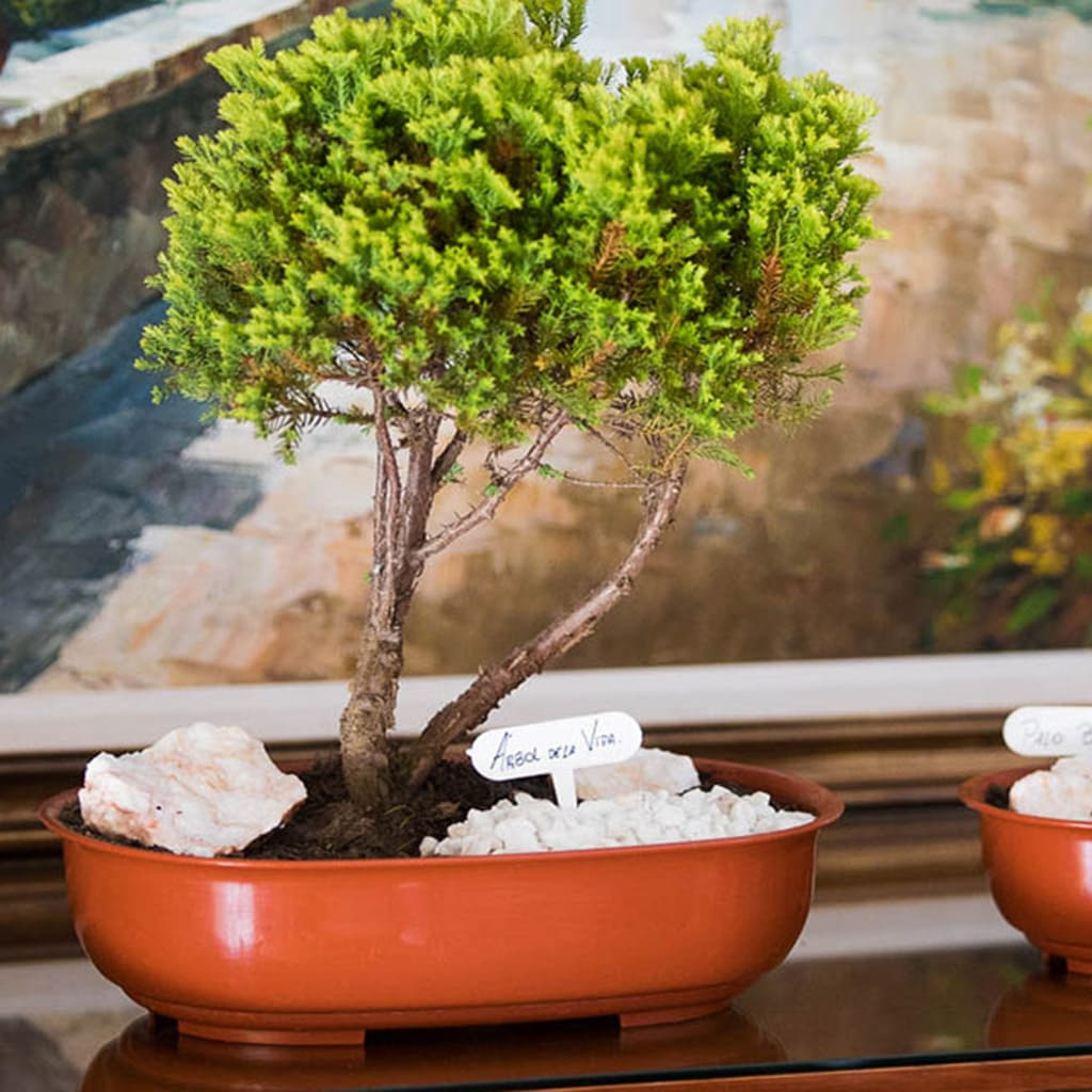 Plantas Faitful Macetas Plasticas TA Bonsai Ovalado 1 - Plantas Faitful