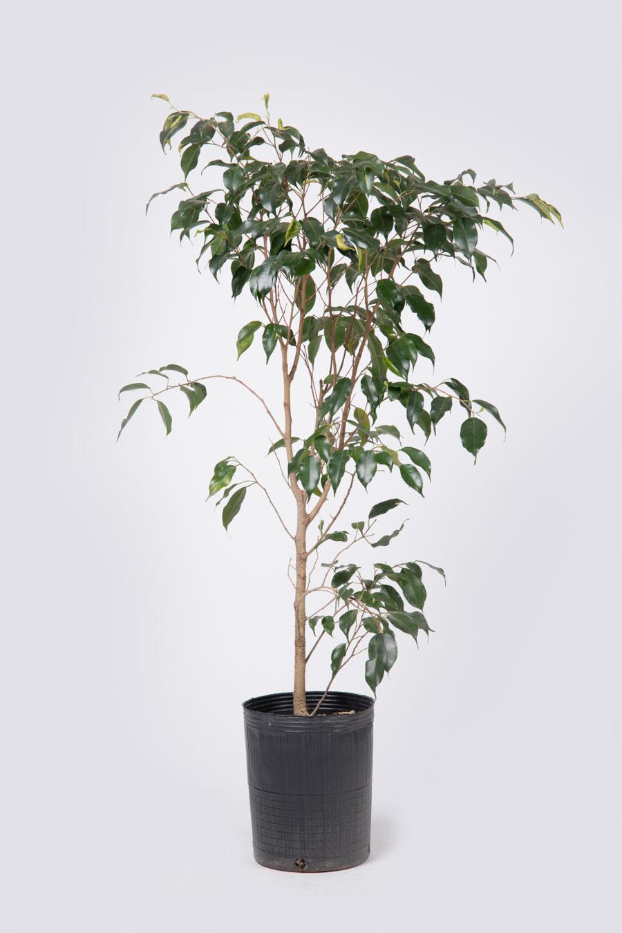 Ficus benjamina – Tamaños varios