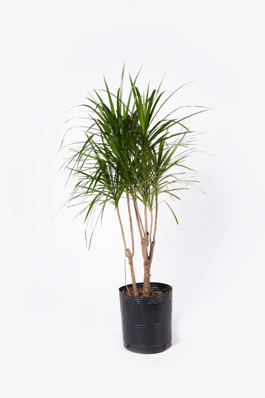 Dracaena marginata – Tamaños varios